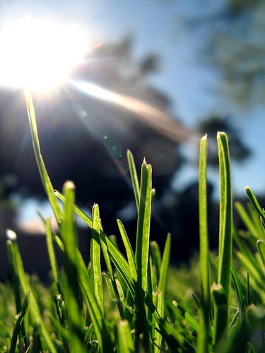 Lawn grass in the sunshine