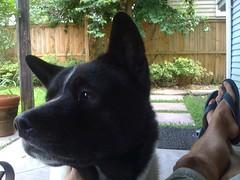 akita(0.0), animal(1.0), dog(1.0), pet(1.0), karelian bear dog(1.0), mammal(1.0),