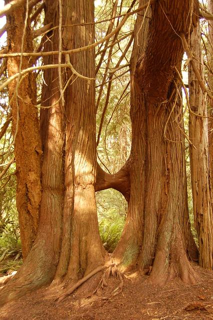 küssende Bäume / kissing trees