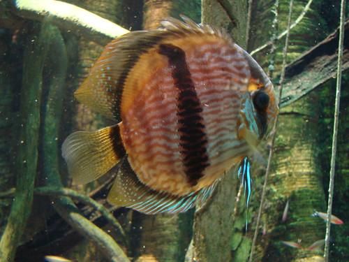 Diskusfisch, 2008-02-17 Baltimore 036 National Aquarium