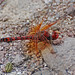 Red Rock Skimmer - Photo (c) Jerry Oldenettel, some rights reserved (CC BY-NC-SA)