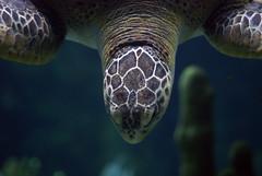 animal, turtle, reptile, loggerhead, organism, marine biology, macro photography, fauna, close-up, underwater, sea turtle,