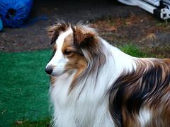 phalã¨ne(0.0), miniature australian shepherd(0.0), papillon(0.0), dog breed(1.0), animal(1.0), dog(1.0), scotch collie(1.0), rough collie(1.0), collie(1.0), carnivoran(1.0), shetland sheepdog(1.0),