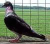 Racing_Pigeon_822.jpg