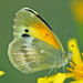 Dainty Sulphur - Photo (c) Jerry Oldenettel, some rights reserved (CC BY-NC-SA)