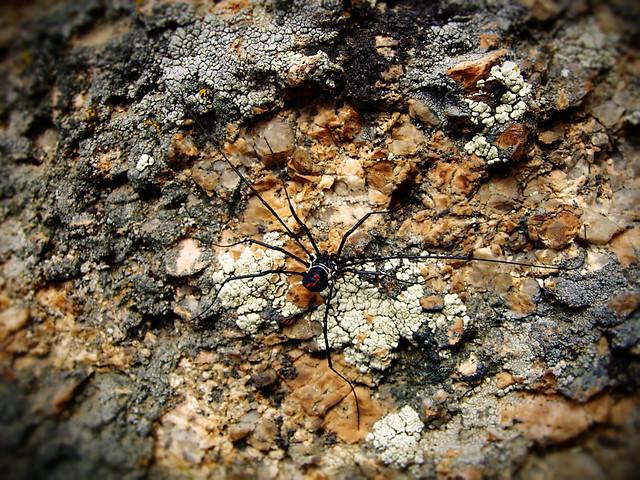 Mongolian Spider