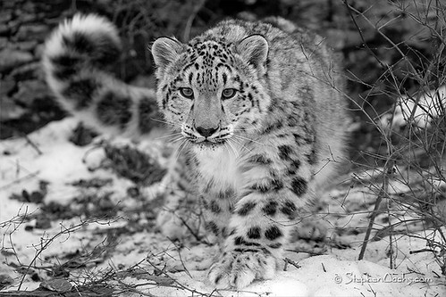 Snow Leopard - National Geographic 1st place Winner!