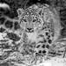 Best of 'Snow Leopards'