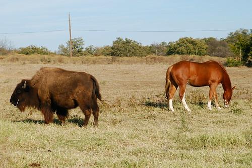 horse buffalo texas