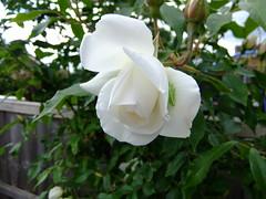 garden roses, flower, flora, gardenia,