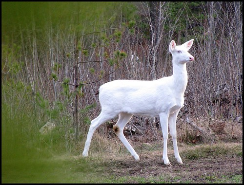 Albino Whitetail Deer at Full Alert