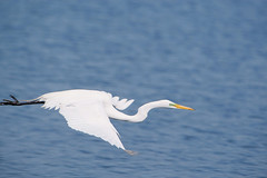 animal, water bird, wing, great egret, heron, beak, bird, seabird,