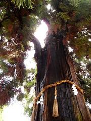 Big Tree in Nara