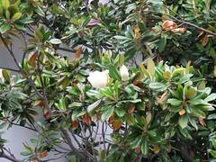 calamondin(0.0), strawberry tree(0.0), produce(0.0), fruit(0.0), food(0.0), bitter orange(0.0), evergreen(1.0), shrub(1.0), flower(1.0), tree(1.0), plant(1.0), bay laurel(1.0),