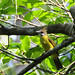 Small photo of White-throated Bulbul (Alophoixus flaveolus)