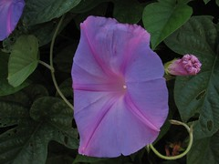 annual plant, ipomoea violacea, flower, purple, plant, flora, four o'clocks, petal,