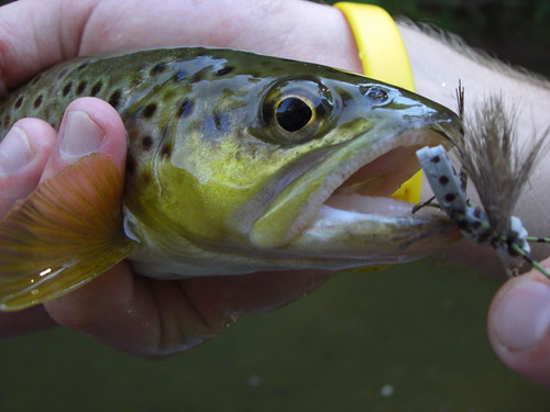 Hot summer fly fishing on maryland tailwaters backwater for Trout fishing maryland