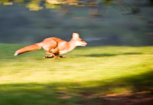 Fast Fox by Joseph Hoetzl