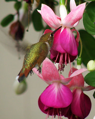 Rufous Hummingbird 8-15 at Fuschia 2