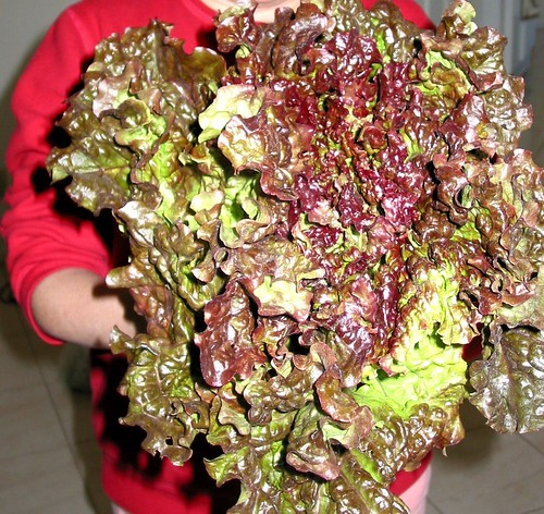 One big, beautiful organic lettuce head!