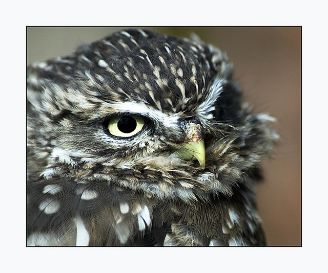 Beady Eye - Sharp Beak - Scottish Owl