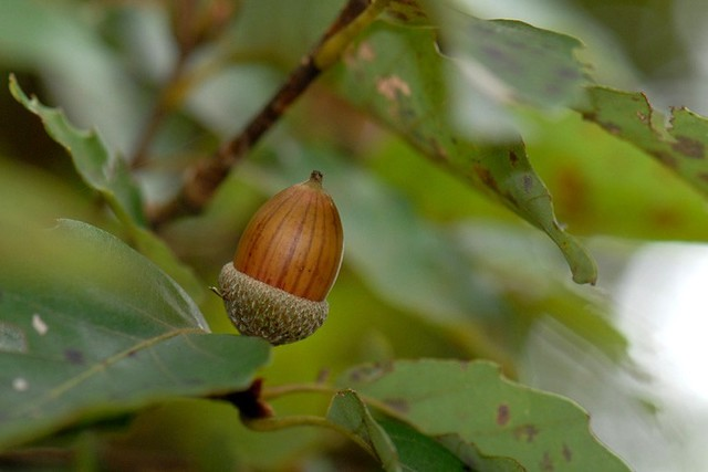 081011 Acorn of Quercus serrata Murray ドングリ・コナラ 01
