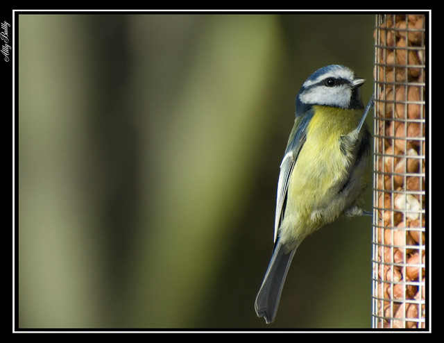 Tits and nuts - Blue Tit
