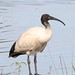 Australian White Ibis - Photo (c) Arthur Chapman, some rights reserved (CC BY-NC)