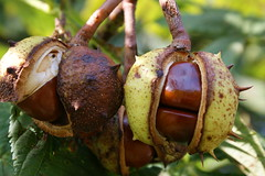 chestnut, nuts & seeds, leaf, plant, macro photography, flora, produce, fruit, food, nut,