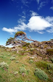 By the forse of high winds the trees grow in horizontally way