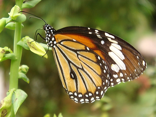 swarming butterflies -...