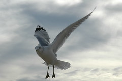 Sea Gull 020