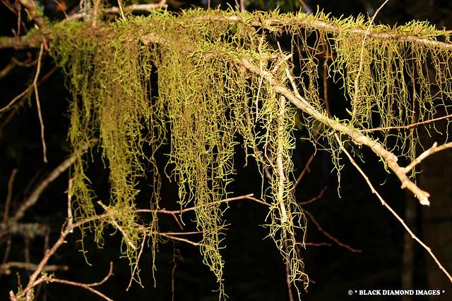 Papillaria flavolimbata (or Papillaria crocea) - Gloucester Tops World Heritage Antarctic Beech Forest