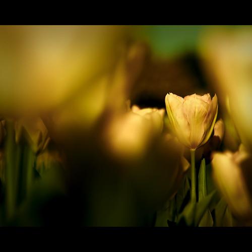 flower macro bokeh ivejustseenaface tokina100mmf28 canont1i