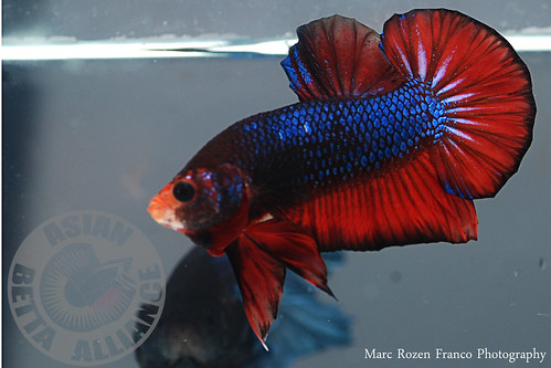 Show bettas tropical fish forums for Show betta fish