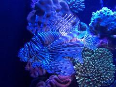 deep sea fish(0.0), cnidaria(0.0), coral reef(1.0), coral(1.0), fish(1.0), purple(1.0), coral reef fish(1.0), organism(1.0), marine biology(1.0), invertebrate(1.0), stony coral(1.0), marine invertebrates(1.0), aquarium lighting(1.0), underwater(1.0), reef(1.0), blue(1.0), sea anemone(1.0),