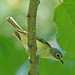 Blue-headed Vireo - Photo (c) Jerry Oldenettel, some rights reserved (CC BY-NC-SA)