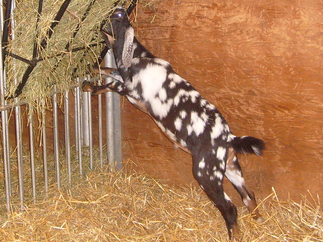 goat eating hay