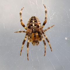 arthropod, argiope, animal, spider, araneus, invertebrate, macro photography, european garden spider, fauna, close-up, wolf spider,