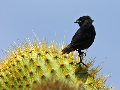 加拉巴哥群島的仙人掌地雀。(圖:David Cook)