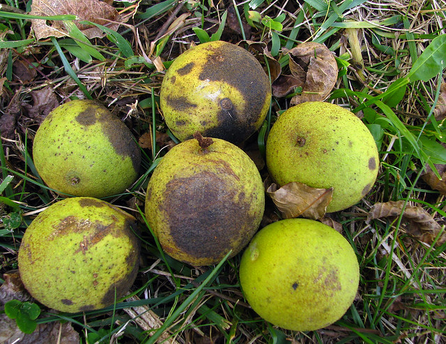 black walnut fruit flickr photo sharing