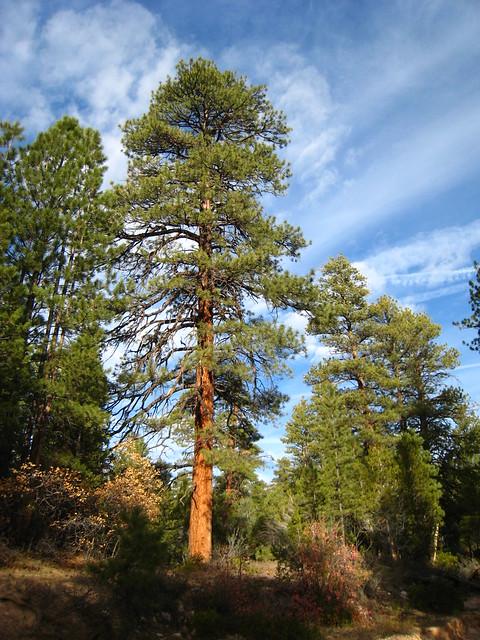 Ponderosa Pine Flickr Photo Sharing