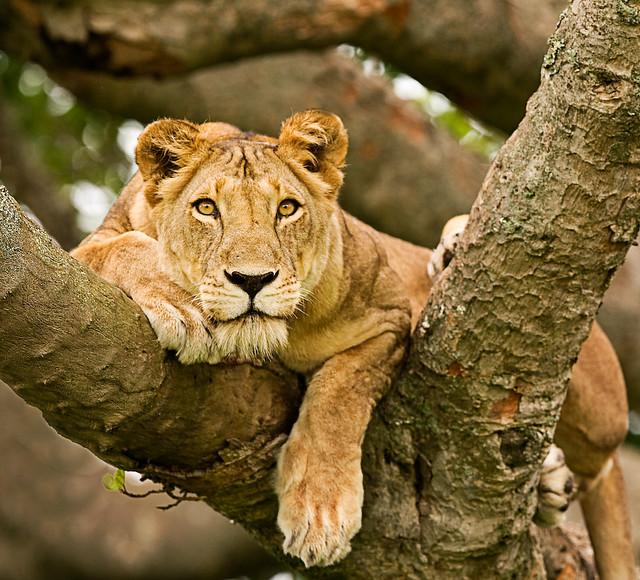Leona descansando sobre un árbol, Uganda