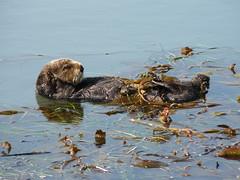 animal, mustelidae, fauna, sea otter, wildlife,