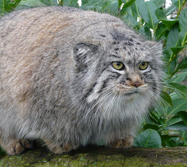 Pallas cat watching