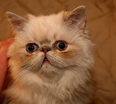 exotic shorthair(0.0), domestic short-haired cat(0.0), domestic long-haired cat(1.0), animal(1.0), persian(1.0), kitten(1.0), napoleon cat(1.0), british semi-longhair(1.0), small to medium-sized cats(1.0), pet(1.0), cat(1.0), carnivoran(1.0), whiskers(1.0), himalayan(1.0),