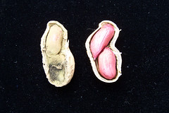 Tue, 11/24/2009 - 16:01 - Colonized (left) and clean (right) groundnut grains by Aspergillus. Photo by IITA. (file name: AFLA_007).