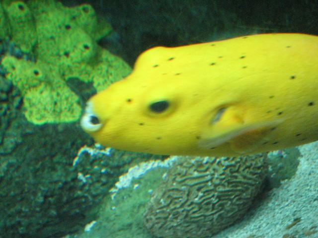 Cool looking yellow fish | Flickr - Photo Sharing!