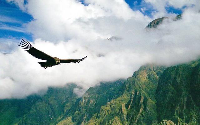 El vuelo del condor, acechando a su presa