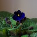 Small photo of First African Violet Blossom